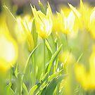 Yellow Tulip Glow by Mark Wilson