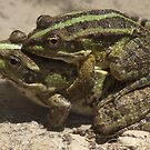 Mating Frogs by Patrick Anastasi