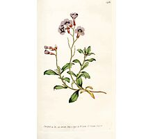The Botanical magazine, or, Flower garden displayed by William Curtis V3 V4 1790 1791 0116 Alyssum Deltoideum, Purple Alyssum Photographic Print