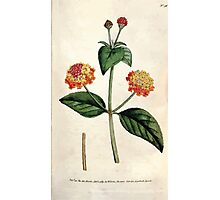 The Botanical magazine, or, Flower garden displayed by William Curtis V3 V4 1790 1791 0049 Kabtaba Aceleata, Prickly Lantana Photographic Print