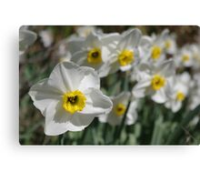 White & Yellow Daffodils Canvas Print
