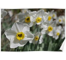 White & Yellow Daffodils Poster