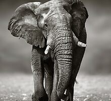 Elephant approach from front by Johan Swanepoel