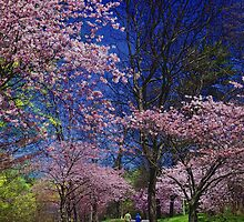 Sakura in High Park by JD Dorosiewicz