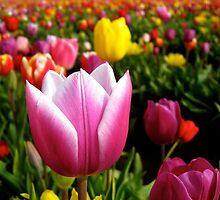 Tulips in the Spring by kimmer19