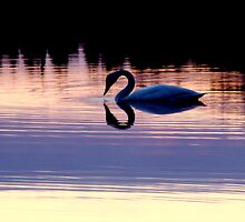 Sunset Swan by Ritva Ikonen
