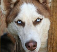 Husky Looking Through A Fence by DebbieCHayes