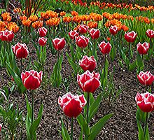 Tulips by ColinBoylett