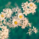 Daisies & Blackthorn Blossom by heidiannemorris