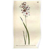 The Botanical magazine, or, Flower garden displayed by William Curtis V3 V4 1790 1791 0118 Ixia Flexuosa, Bending Stalked Ixia Poster