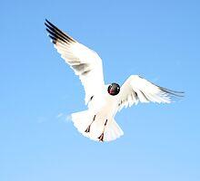 Floridian Gull by Audrey Krüger