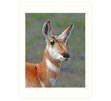 antelope doe #160 Art Print