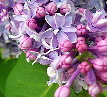 Lilac Dreams by debbiedoda