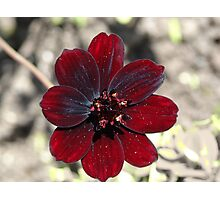 Chocolate Cosmos Flower Photographic Print
