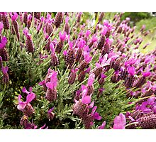 Lavendar bloom at The Gardens at Lake Merritt Photographic Print