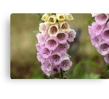 Common Foxclove Flowers Canvas Print