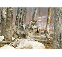 Watchful Timber Wolf Photographic Print