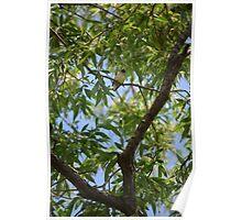 Cedar Waxwing I Poster