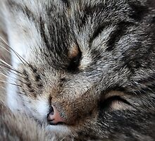 A sleeping Norway Forest Cat.  by Zosimus