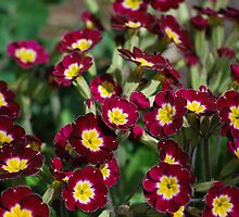 Primrose pretties by John Easterhouse