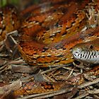 Corn Snake in ANF  by Michael L Dye