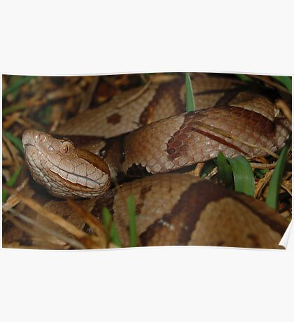 Southern Copperhead Snake  Poster