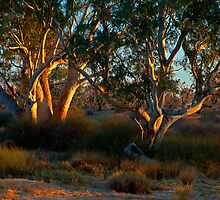 River Red Gums - Cooper Creek, SA by graphicscapes