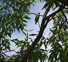 Cedar Waxwing III by Sarah Farooqi
