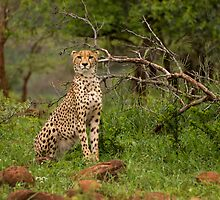 Alert! by Explorations Africa Dan MacKenzie