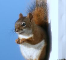 Red Squirrell by LaBud