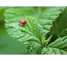 viburnum at spring Photographic Print