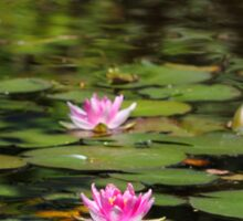 Water-lilies  on a forest lake. Sticker