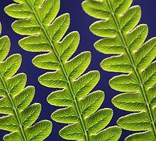 Macro photo of a bracken fern leaf (Pteridium aquilinum) by Zosimus
