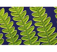 Macro photo of a bracken fern leaf (Pteridium aquilinum) Photographic Print
