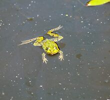 A green pond frog in black water. by Zosimus