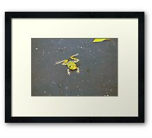 A green pond frog in black water. Framed Print