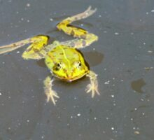 A green pond frog in black water. Sticker