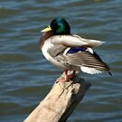A New Breed of  Duck... with shoulder pads... by Larry Llewellyn