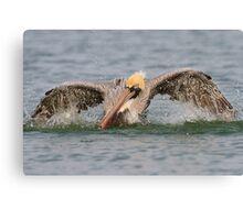 Pelican Bath Canvas Print