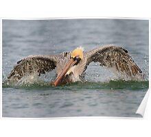 Pelican Bath Poster