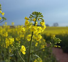 Oil seed rape flowers by Alastair