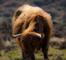 HIghland cow - Peak District UK by Hardabit
