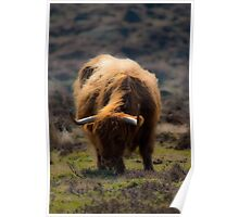 HIghland cow - Peak District UK Poster
