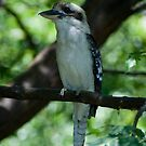The Local Kookaburra by TMphotography