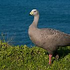 Cape Barren Goose by Russell Spence