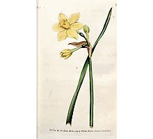 The Botanical magazine, or, Flower garden displayed by William Curtis V3 V4 1790 1791 0013 Narcissus Odorus, Sweet Scented or Great Jonquil Photographic Print