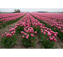 Just tulips Photographic Print