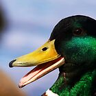 Laughing mallard duck by Arve Bettum