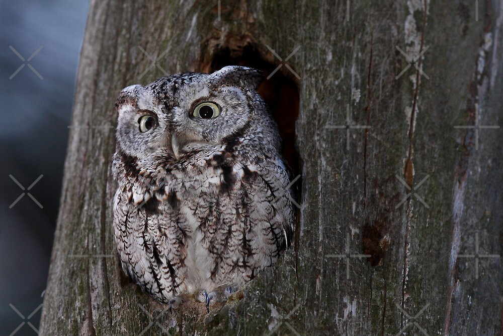 Eastern Screech-Owl by Jim Cumming