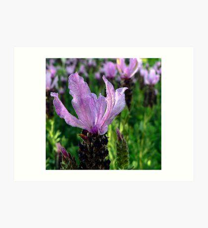 Lavender is Lovely Art Print